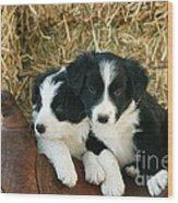 Border Collie Puppies Wood Print