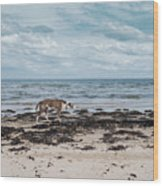 Borzoi Dog Stalking Alnmouth Beach Wood Print