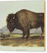 Bos Americanus, American Bison Wood Print