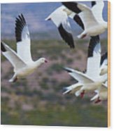 Bosque Snow Geese Flyover Wood Print