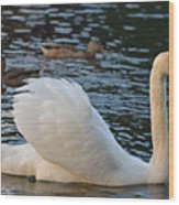 Boston Public Garden Swan Amongst The Ducks Ruffled Feathers Wood Print