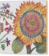 Botanical Flower-46 Sunflower Drawing Wood Print