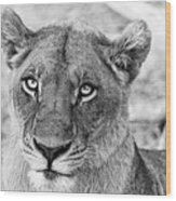 Botswana  Lioness In Black And White Wood Print