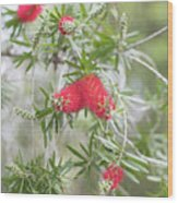 Bottlebrush Wood Print