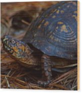 Box Turtle 2 Wood Print