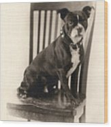 Boxer Sitting On A Chair Wood Print