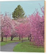 Branch Brook Cherry Blossoms II Wood Print