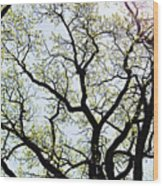 Branches Against Sky In Spring Outback Wood Print