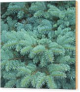 Branches Of Blue Spruce Wood Print