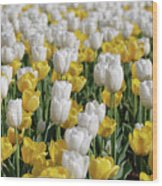 Breathtaking Field Of Blooming Yellow And White Tulips Wood Print