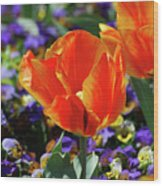 Bright And Colorful Orange And Red Tulip Flowering In A Garden Wood Print