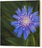 Bright Blue Aster Wood Print