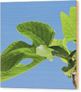 Bright Green Fig Leaf Against The Sky Wood Print
