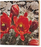 Bright Orange Cactus Blossoms Wood Print