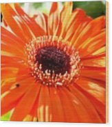 Bright Orange Gerbera  Wood Print