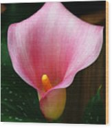 Bright Pink Calla Wood Print