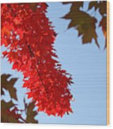 Bright Red Sunlit Autumn Leaves Fall Trees Wood Print