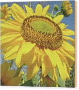 Bright Sunny Happy Yellow Sunflower 10 Sun Flowers Art Prints Baslee Troutman Wood Print