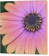 Briliant Colored Daisy Wood Print