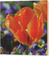 Brilliant Bright Orange And Red Flowering Tulips In A Garden Wood Print