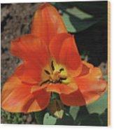 Brilliant Orange Tulip Flower Blossom Blooming In Spring Wood Print
