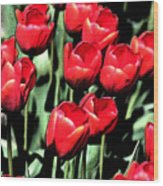 Brilliant Tulips Dp22 Wood Print
