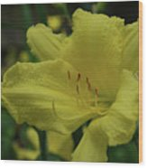 Brilliant Yellow Daylilies Flowering In A Garden Wood Print