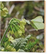 Brimstone On Cowslip Primrose Wood Print