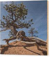 Bristle Cone Tree Wood Print