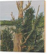 Bristle Wood Pine Wood Print