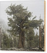 Bristlecone Elder Wood Print