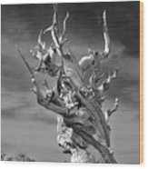 Bristlecone Pine - A Survival Expert Wood Print