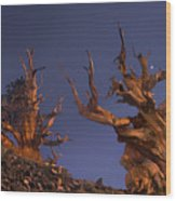 Bristlecone Pines At Sunset With A Rising Moon Wood Print