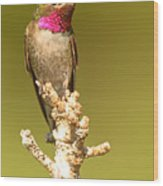 Broad-tailed Hummingbird Sitting Boldly On Perch Wood Print