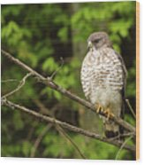 Broad Winged Hawk On The Lookout Wood Print