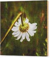 Broken Hearted Oxeye Daisy Asteraceae  Wood Print