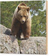 Brown Bear 3  Wood Print