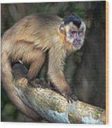 Brown Capuchin Monkey Cebus Apella Wood Print