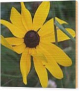 Brown Eyed Susan Wood Print