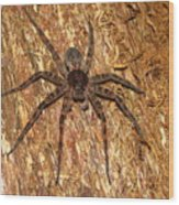 Brown Fishing Spider Wood Print