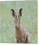 Brown Hare Wood Print