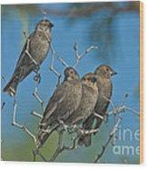 Brown-headed Cowbirds Wood Print