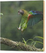 Brown-hooded Parrot Wood Print