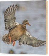 Brown Mallard Landing Wood Print