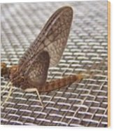 Brown Mayfly On Screening    Spring      Indiana Wood Print