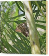 Brown Morpho Butterfly Resting On A Sunny Tree  Wood Print
