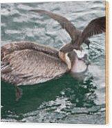 Brown Pelican And His Friend Brown Noddy Wood Print