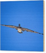 Brown Pelican Flying Wood Print