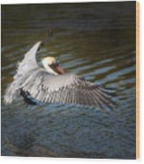 Brown Pelican In Flight Wood Print
