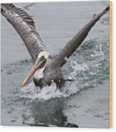 Brown Pelican Landing On Water . 7d8372 Wood Print